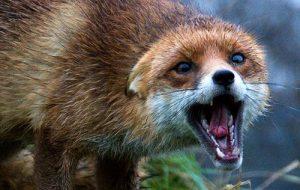 сказ лисиця
