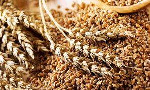 озимина пшениця