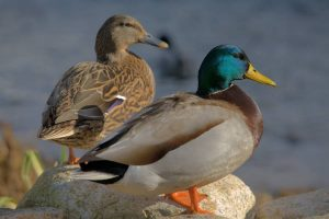 полювання качки