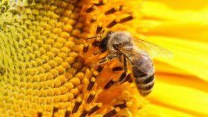 бджола пасічник