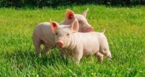 cattle_pigs_and_poultry-768x410