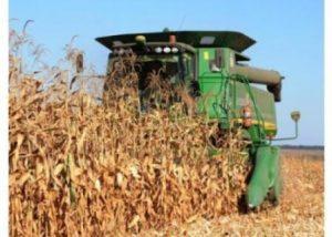 урожай кукурудза
